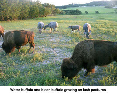 Bison and cattle that are part of the Stonewall Valley Ranch herd.
