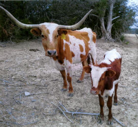 Long Horn cow and calf that are part of the Stonewall Valley Ranch herd.